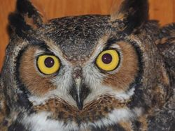 Brisco_GreatHornedOwl