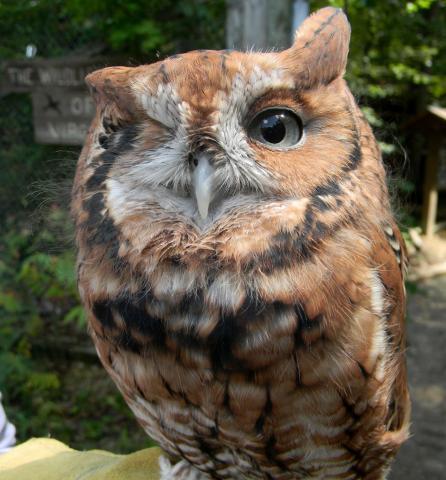 Pignoli_The_Screech_Owl