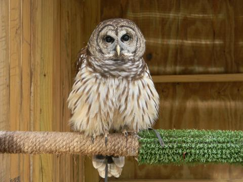Gus_Barred Owl