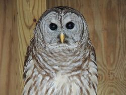 Athena_Barred Owl