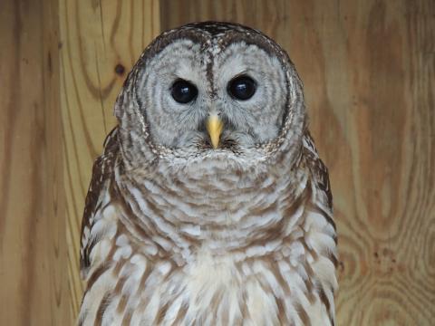 Athena_Barred Owl